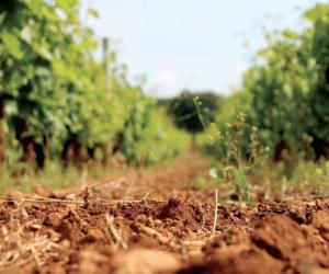 Cantine San Marzano Vineyard